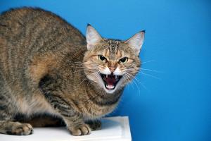 Zły kot - siedzi i szczerzy kły